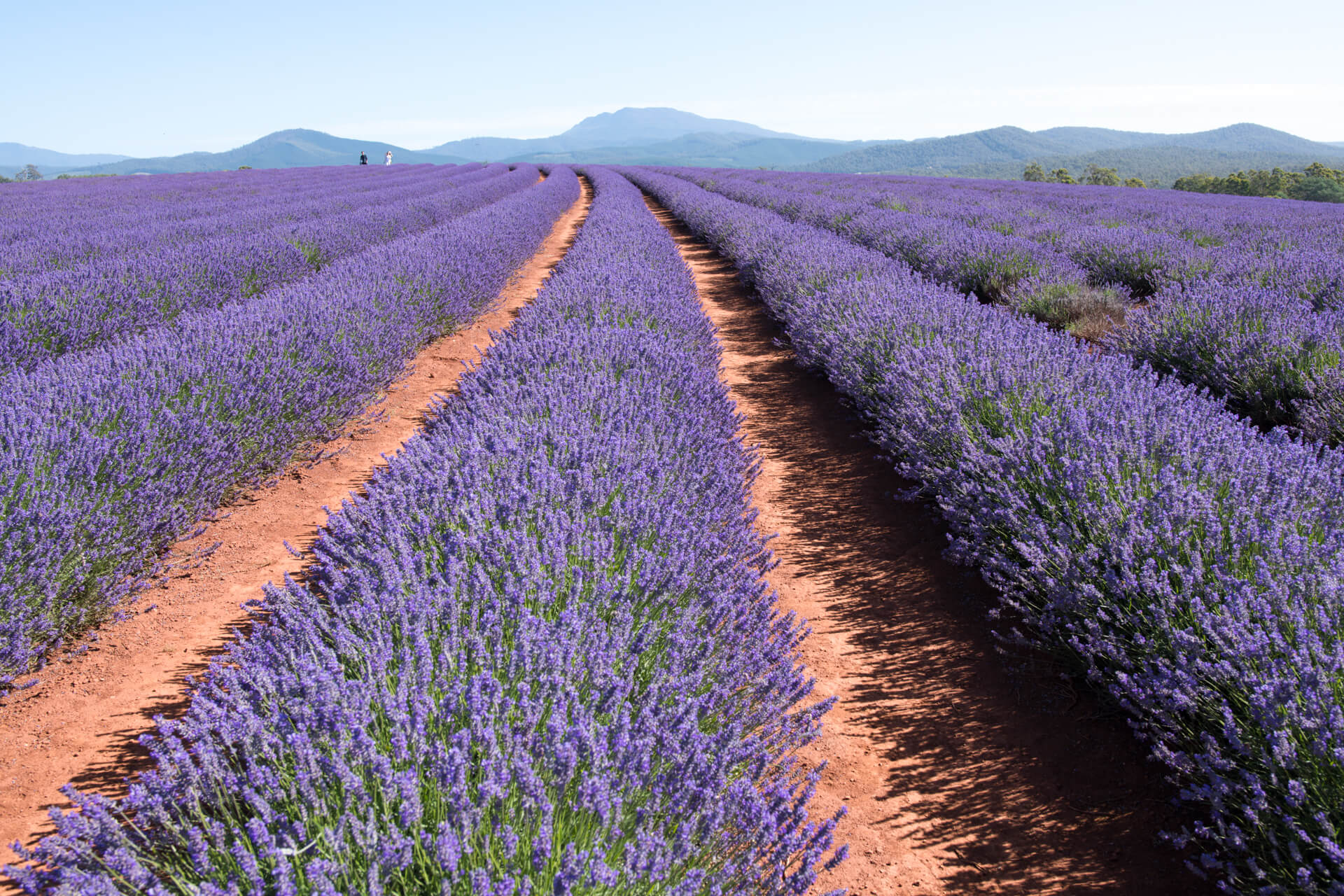 Tour Tasmania Part 4 - Bridestowe Lavender